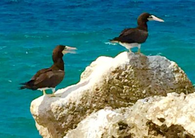 Brown Booby's